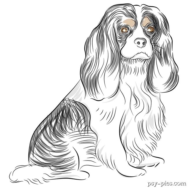 Portret psa rasy cavalier king charles spaniel wykonany ołówkiem