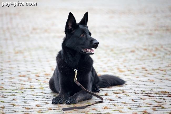 Psy biało czarne