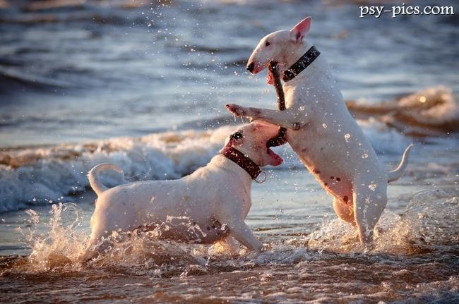 Alaskan Malamute W Polsce Kupujemy psa rasy Bult...