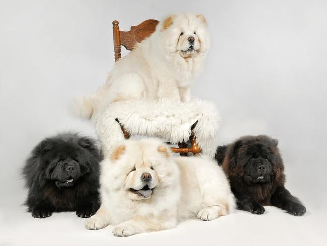 psy z rodowodem rasy Chow Chow