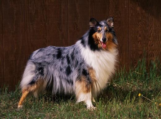 Pies rasy Owczarek szkocki Collie, AKC