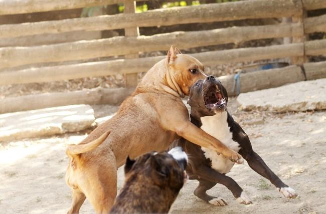 Nielegalne walki psów na śmierć i życie