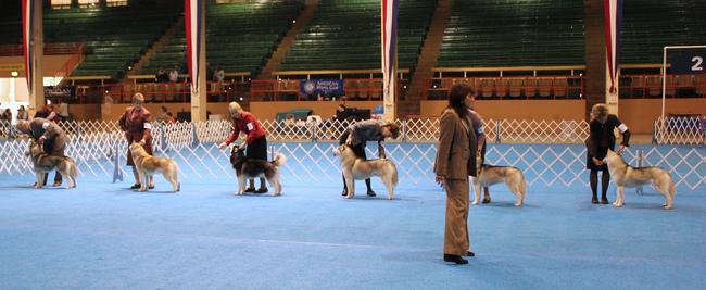 Prezentacja psów Siberian Husky na Wystawie Psów Rasowych