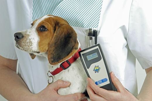 Weterynarz sprawdzający czy pies rasy Beagle posiada czip