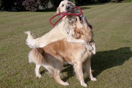 Zabawa Golden retrieverów w hotelu dla zwierząt