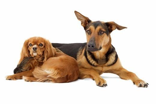 Dwa psy rasy Cavalier king Charles spaniel i Kundelek