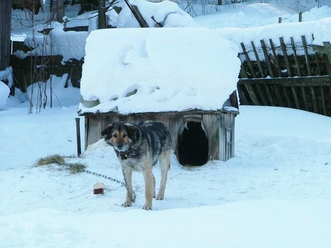 Pies na łańcuchu podczas zimy
