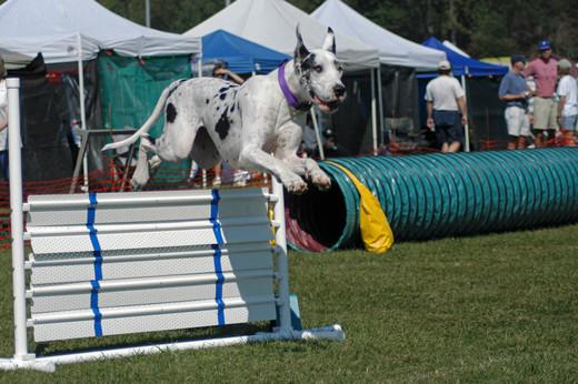 Pies sportowiec Dog niemiecki i agility