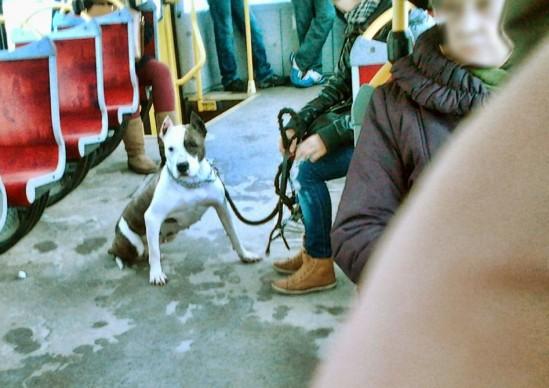 Pies rasy agresywnej w autobusie