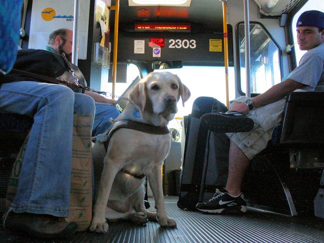 Podróż psa Labradora w autobusie