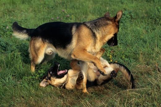 Psy sygnały uspokajające przykład bawiacych się Owczarków niemieckich, każdy z nich wie na ile może sobie pozwolić
