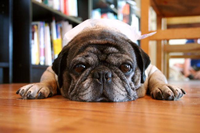 Stary pies Mops odpoczywający po spacerze