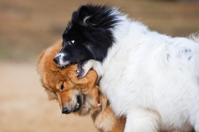 Walczące ze sobą dwa psy Elo