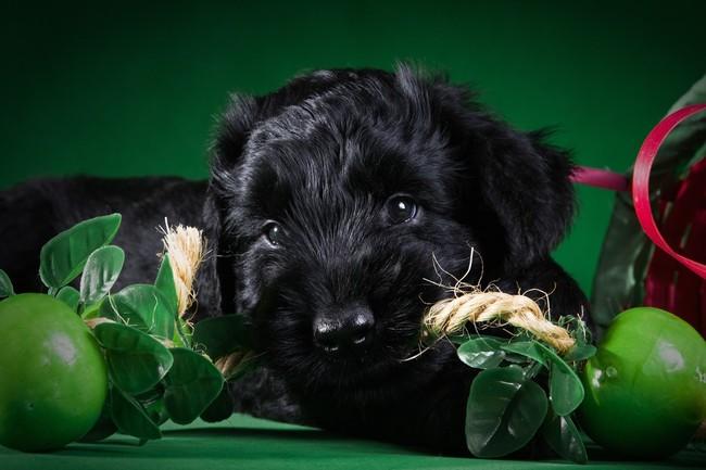 Młody szczeniak Czarnego Teriara Rosyjskiego
