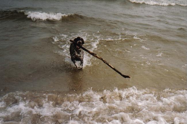 Sonia wyżeł niemieckie aportujący patyk z morza