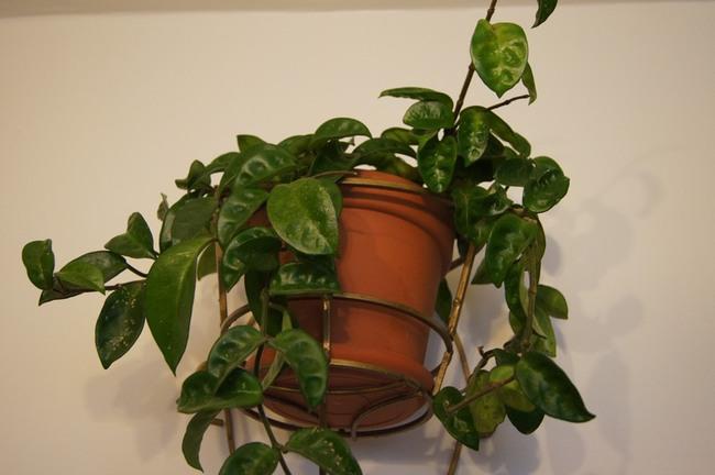 hoya, hoye, rośliny doniczkowe, hoya carnosa krinkle