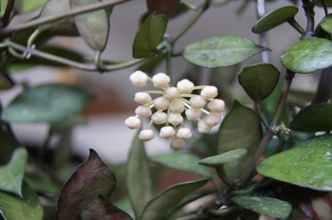 hoya, hoji, rośliny doniczkowe, hoye, roślina hoya