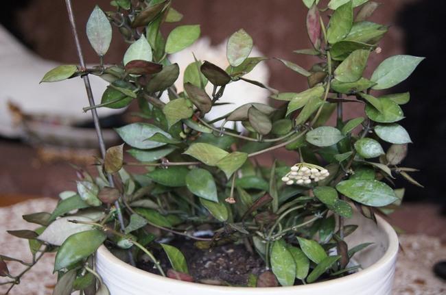 hoja, hoji, kwiat doniczkowy, hoye, kwitnąca hoya