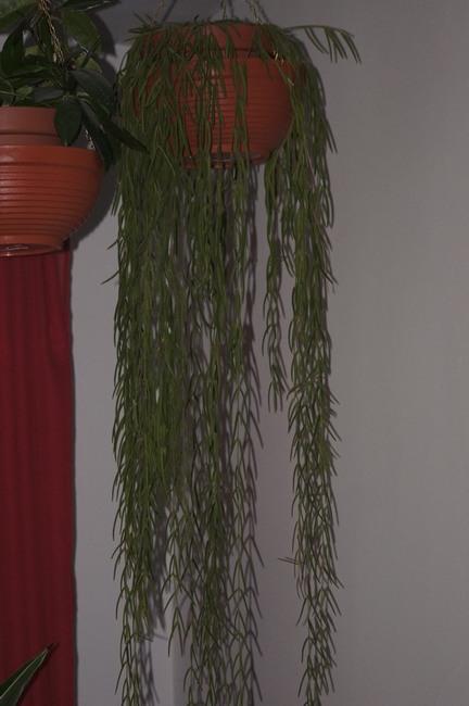 hoja linearis, roślina, kwiaty doniczkowe, hoye