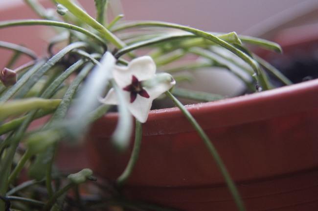 rosliny doniczkowe, hoya, hoye, rośliny hoya