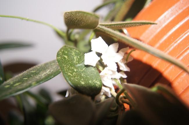 hoya, hoja, kwiaty doniczkowe, hoya thomsonii