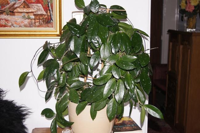 hoya, hoja, roślina doniczkowa, hoye, rośliny hoya