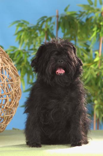 Pies rasy Affenpinscher (Pinczer małpi)