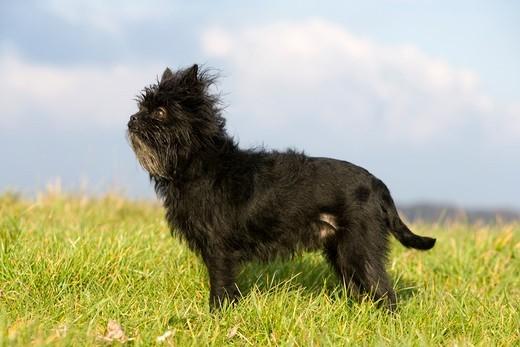 Zdjecie przedstawiające psa rasy Pinczer małpi