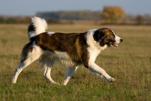 Pies rasy Aidi