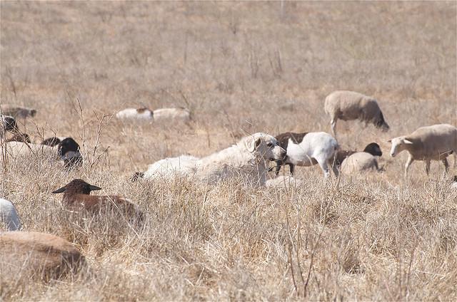 Akbash dog i owce