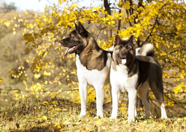 Psy rasy Akita amerykańska