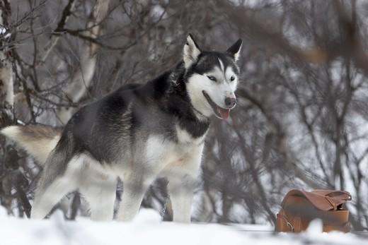 Pies Alaskan husky