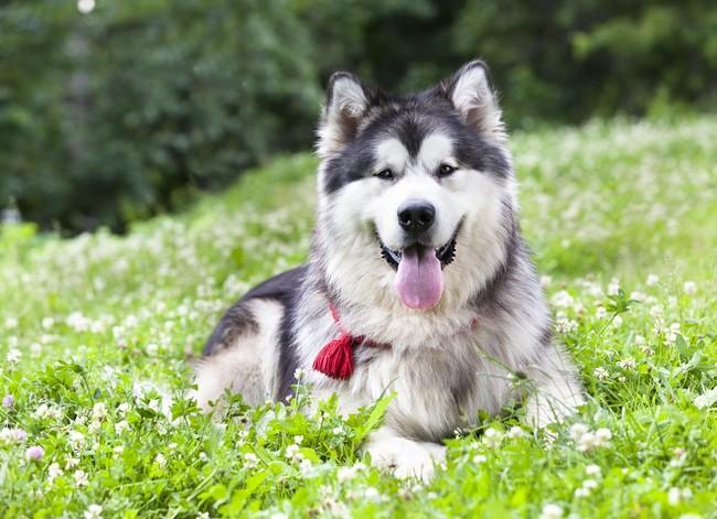 Pies rasy pierwotnej Alaskan malamute