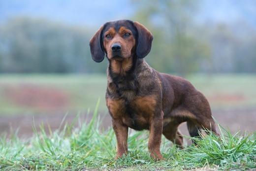 Pies rasy Alpejski gończy krótkonożny