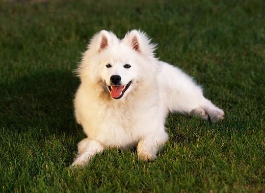 Rasa psow American eskimo dog, AKC