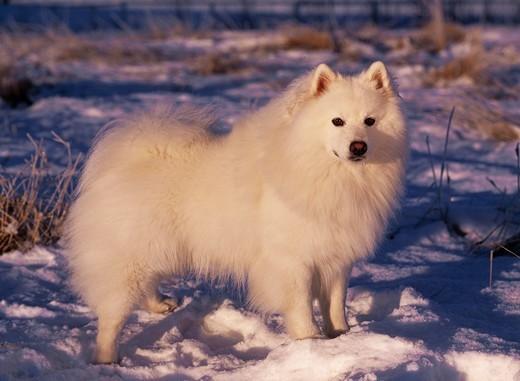 American eskimo dog stojacy na sniegu