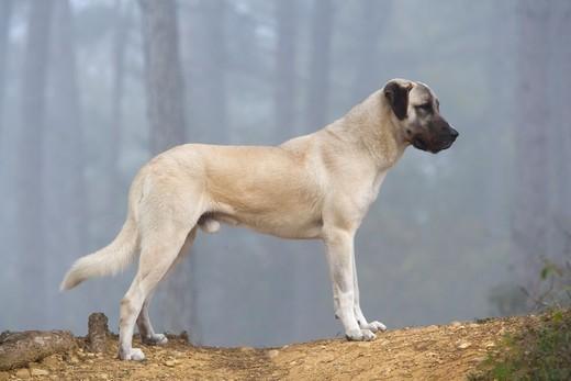Anatolian potężny pies pochodzacy z Anatolii (Turcji).
