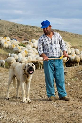 Owczarek anatolijski pilnujacy stada kóz w Anatolii