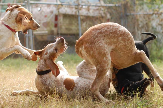 Zabawa Angielskich coonhoundów