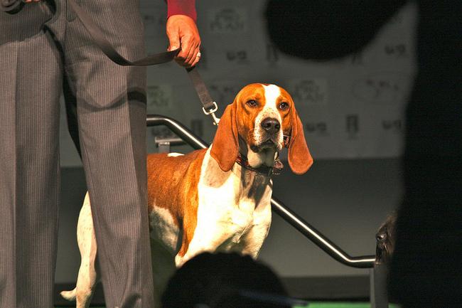 Angielski coonhoud na wystawie psów rasowych