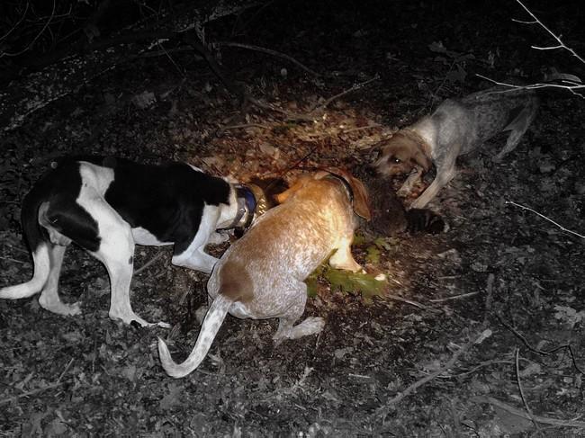 Angielski coonhoundy na polowaniu