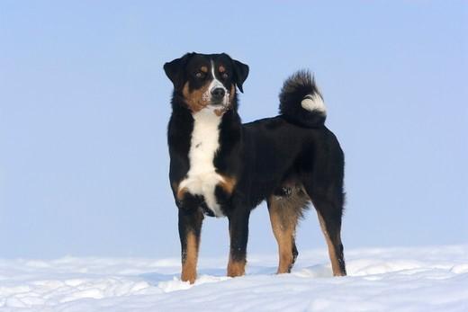 rasy psów ze szwajcarii