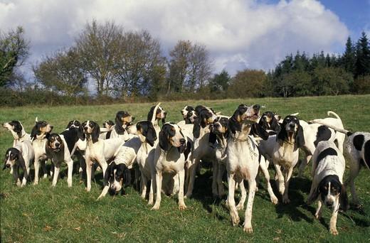 Grupa psów myśliwskich rasy Ariegeois