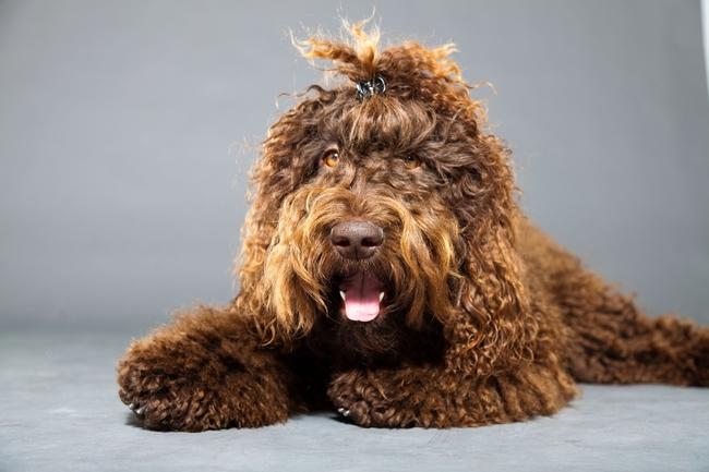 Zdjęcie psa rasy Francuski pies dowodny Barbet