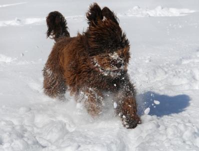 Francuski pies dowodny Barbet