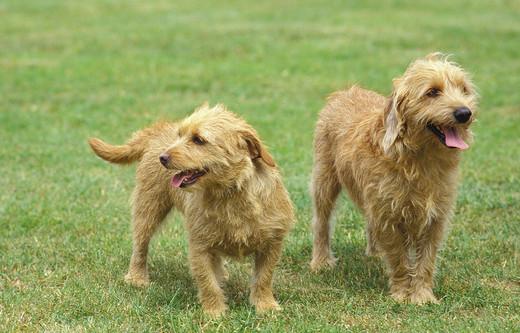 Basset bretoński rasa psów