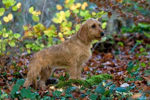Basset bretoński zdjęcie psa