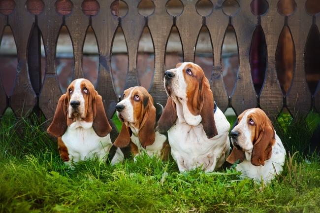 Psy rasy Basset hound