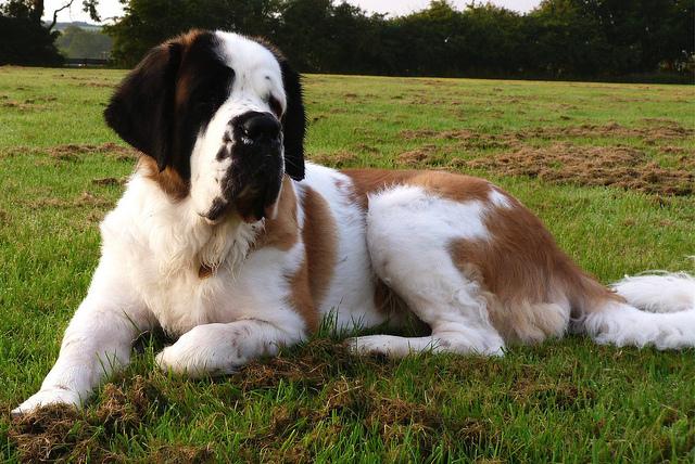 Olbrzymia rasa psów Bernardyn krótkowłosy