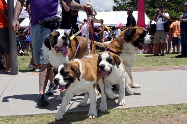 Psy rasy Bernardyn krótkowłosy